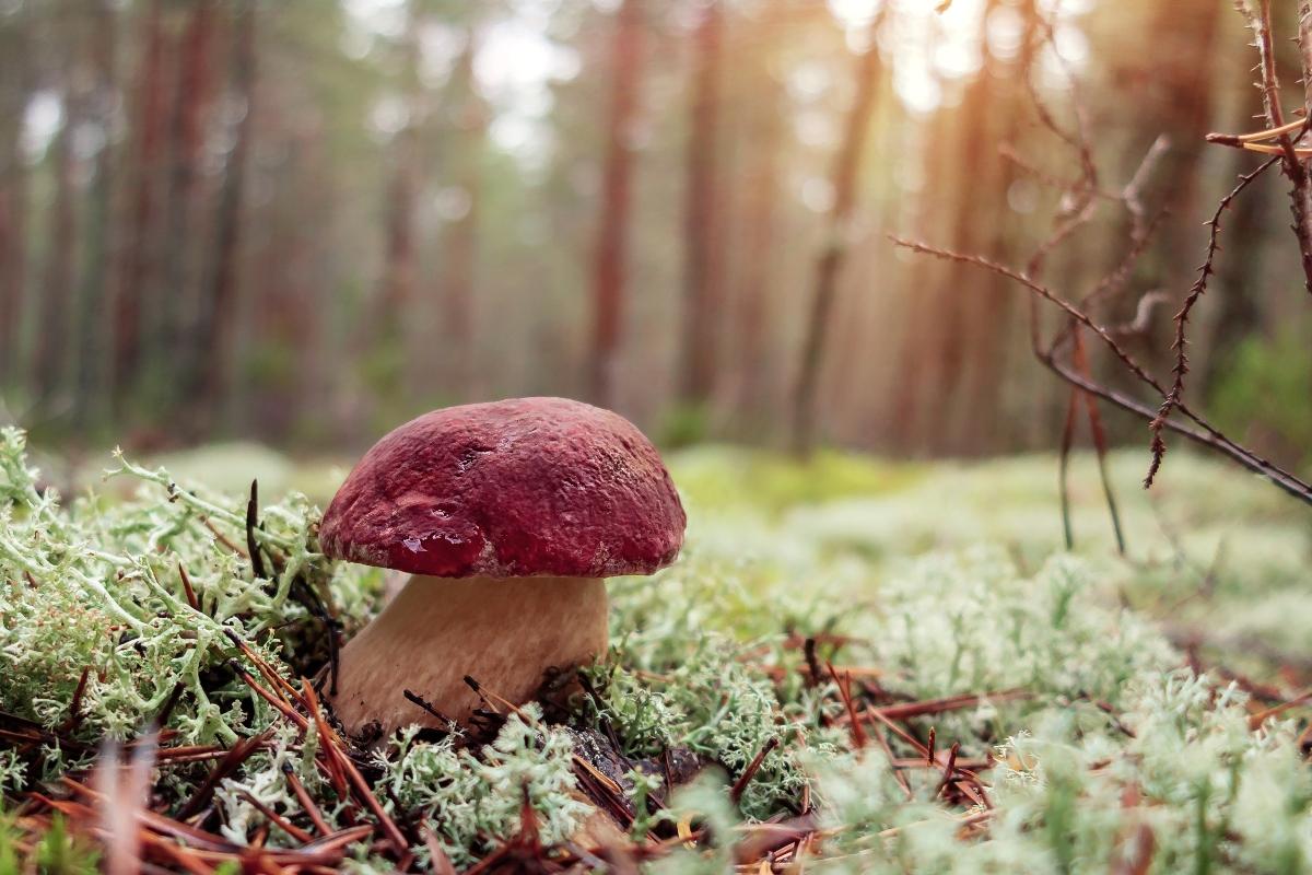 funghi porcini- boletus pinophilus
