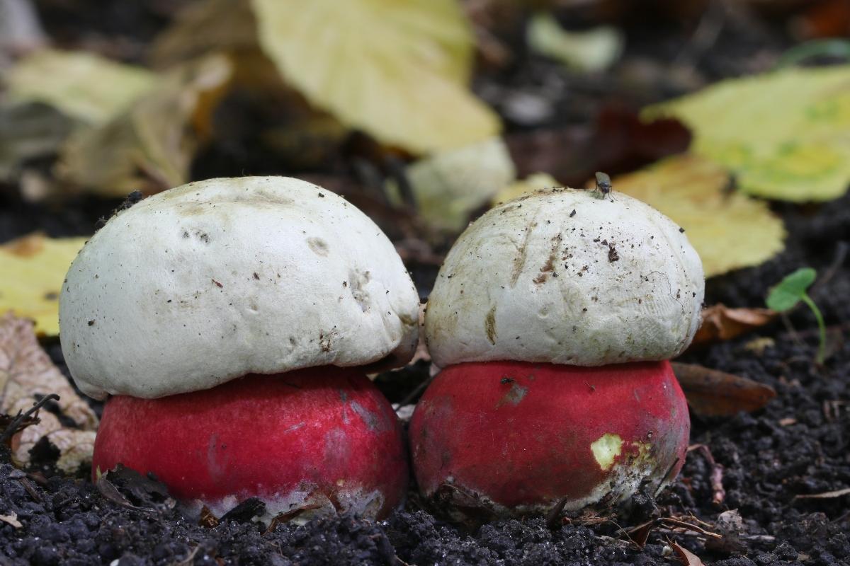 funghi porcini: boletus satanas-foto