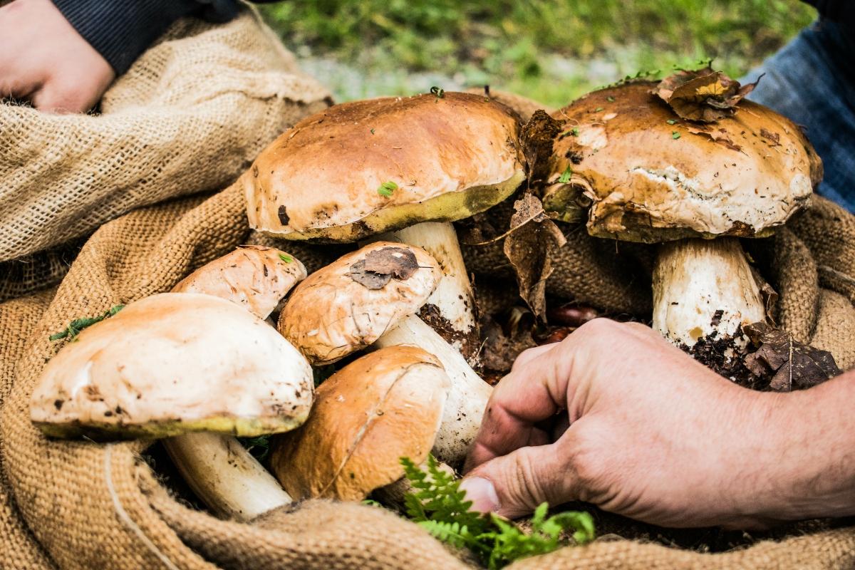 funghi porcini: dove trovarli