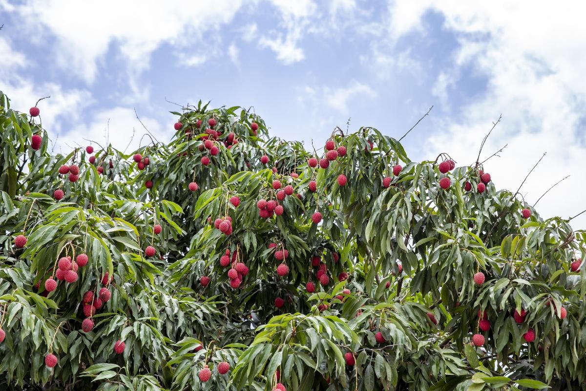 litchi: botanica