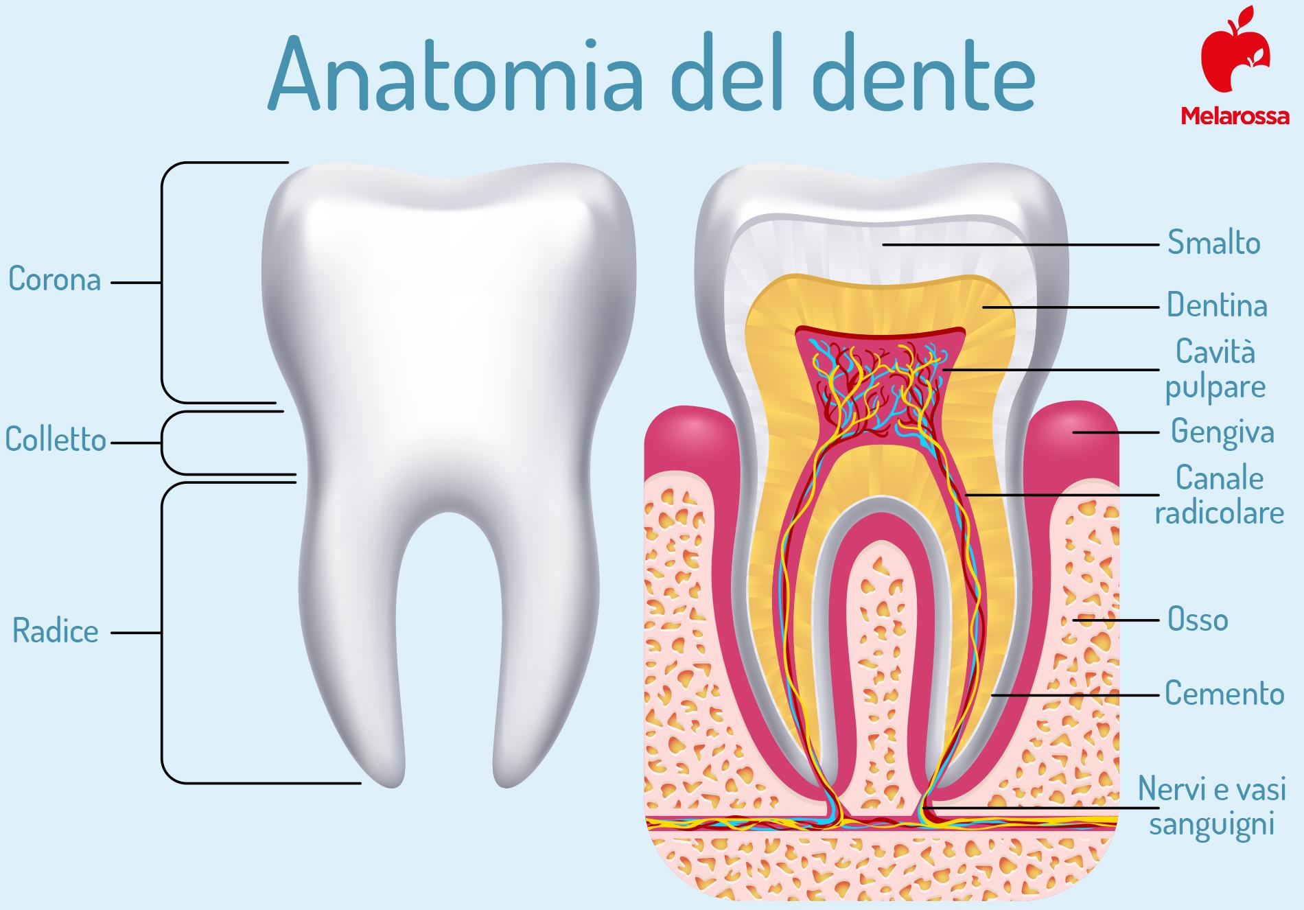 pulpite: anatomia del dente