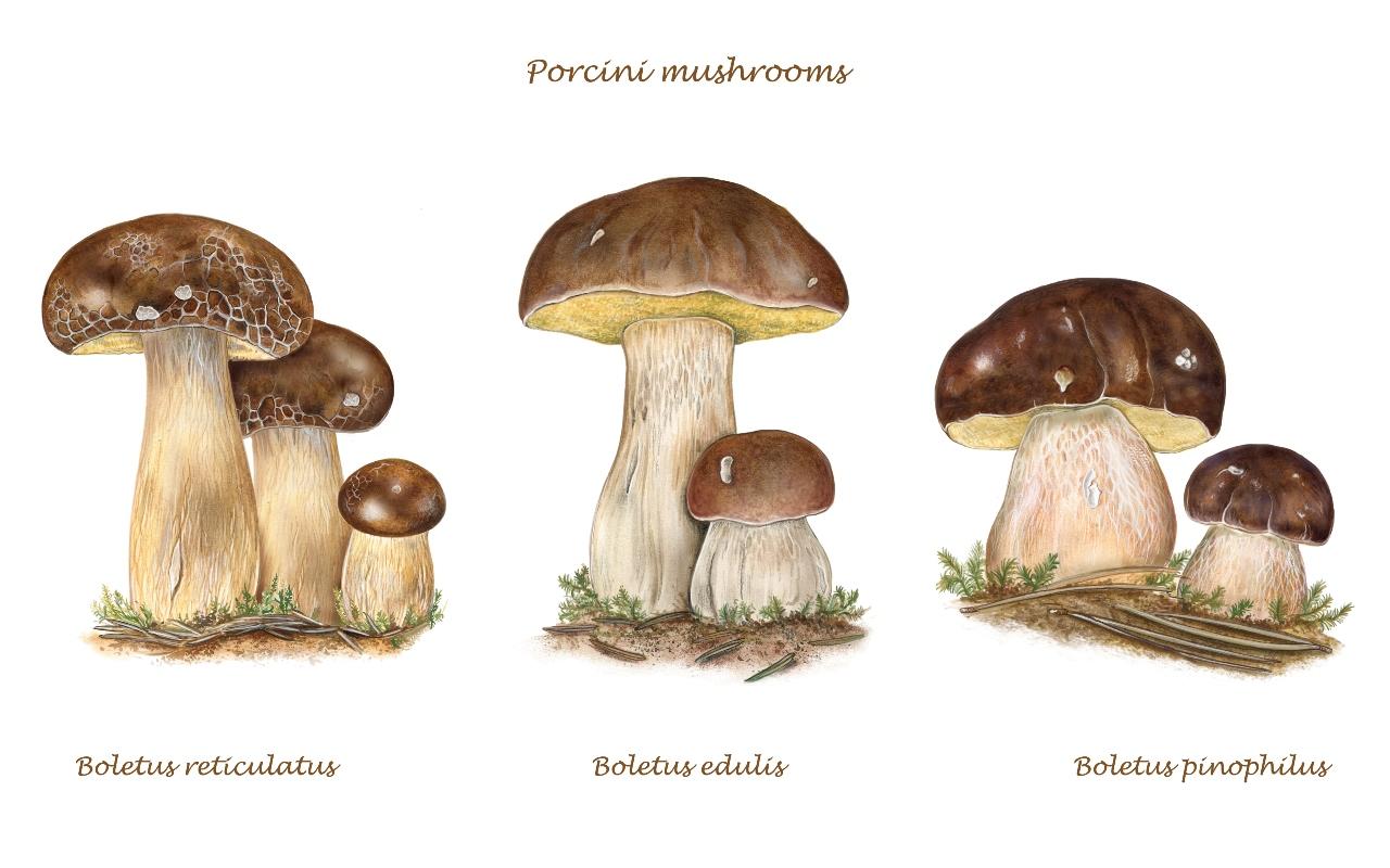 specie di funghi porcini
