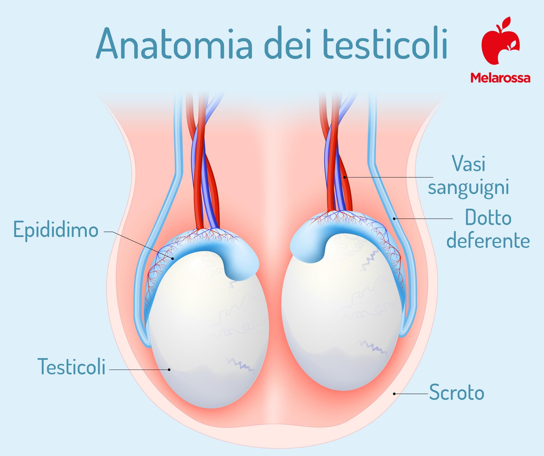 varicocele: anatomia dei testicoli
